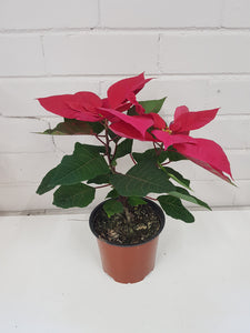 Christmas Poinsettia (150mm)