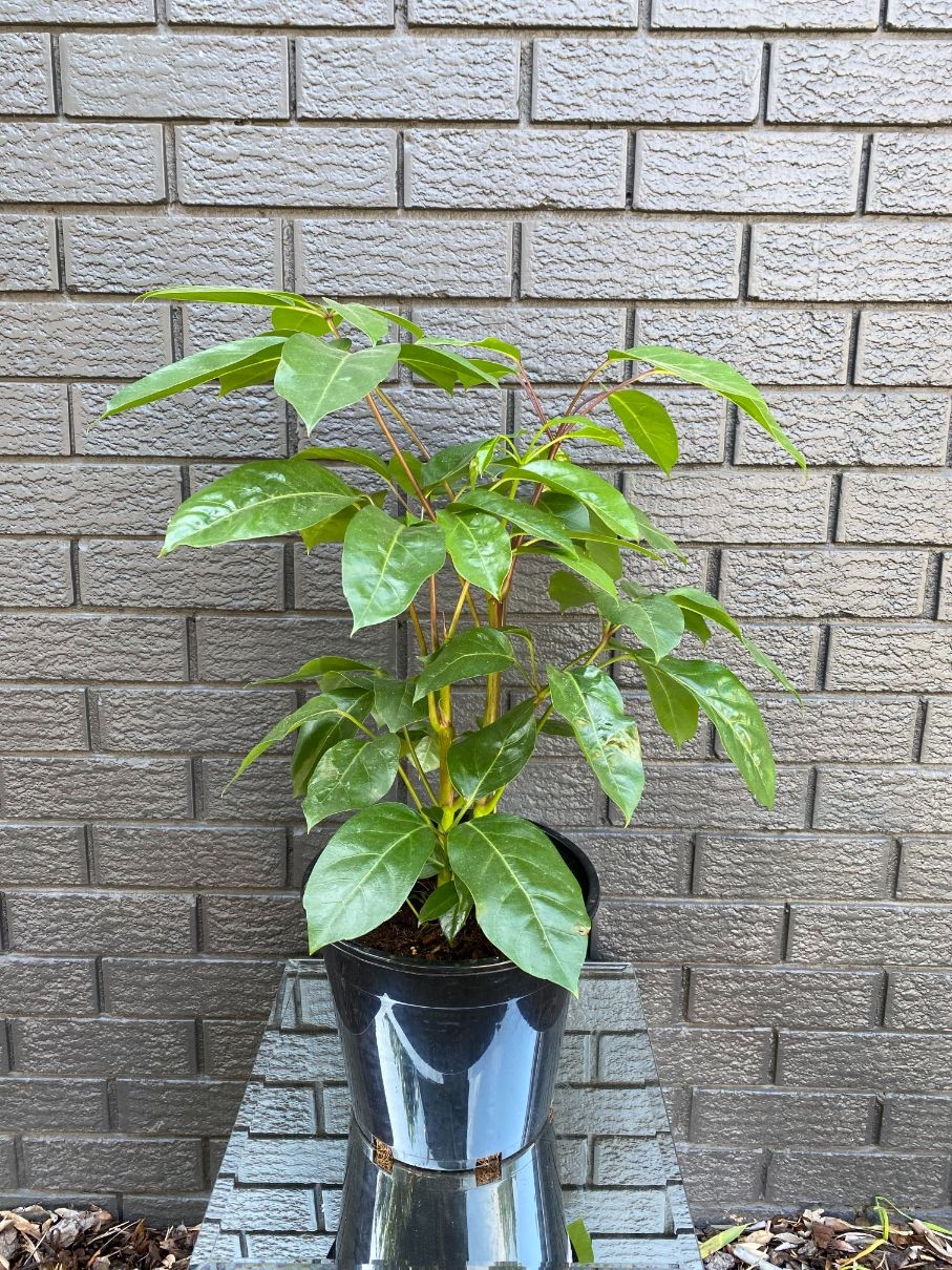 Schefflera Alpine Junior - Umbrella Tree (250mm)