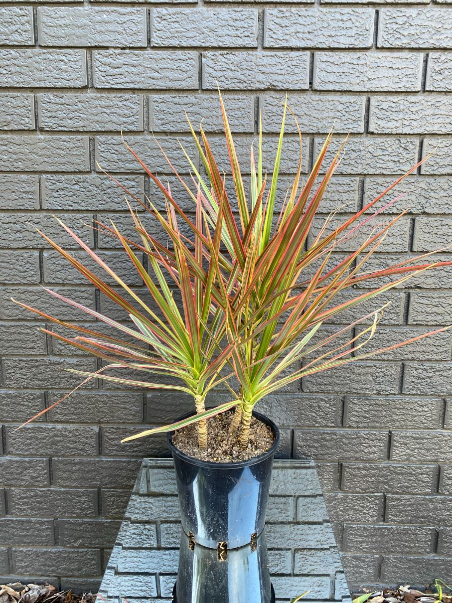 Dracaena Colorama Lush (200mm)