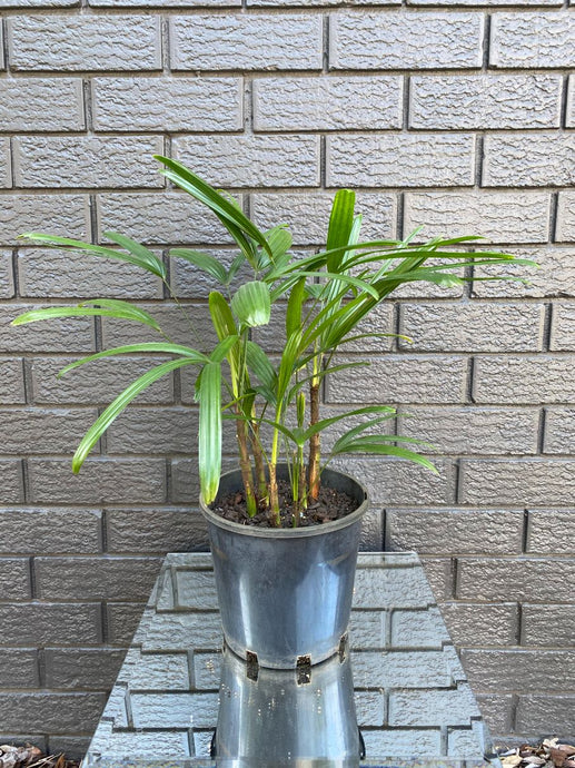 Rhapis / Lady Palm (200mm)