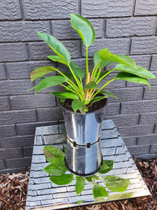 Philodendron Congo (200mm)