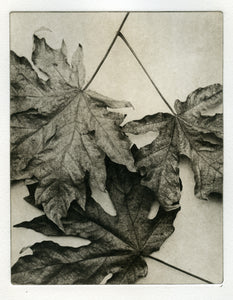 Maple leaves - Photogravure print