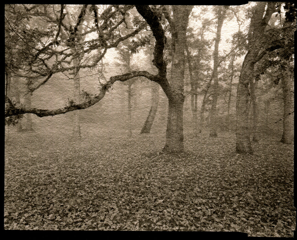 Oak in fog