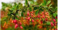 Kasthori (Indian Barberry)