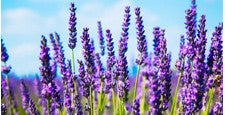 Lavender Angustifolia Oil