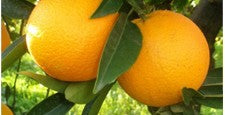 Pure Essential Oils Of Orange (Citrus Aurantium)
