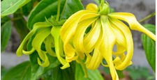 Pure Essential Oils Of Ylang Ylang (Cananga Odorata)