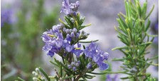 Rosemary Oil (Rosmarinus Officinalis)