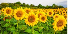 Sunflower Oil (Helianthus Annuus)