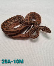 Load image into Gallery viewer, Normal het albino Carpet Python