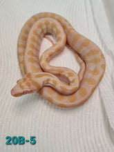 Load image into Gallery viewer, Albino Jag Carpet Python