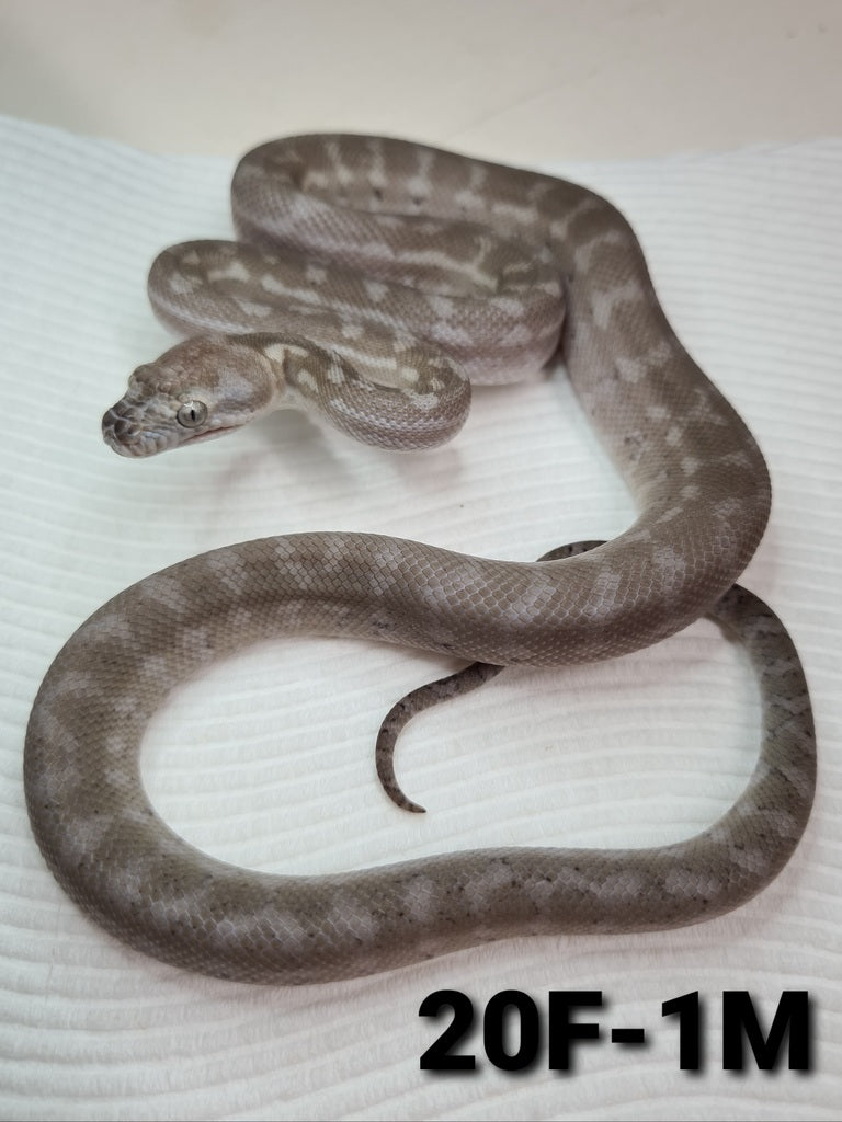 Caramel Axanthic (Ghost) Carpet Python - ON HOLD
