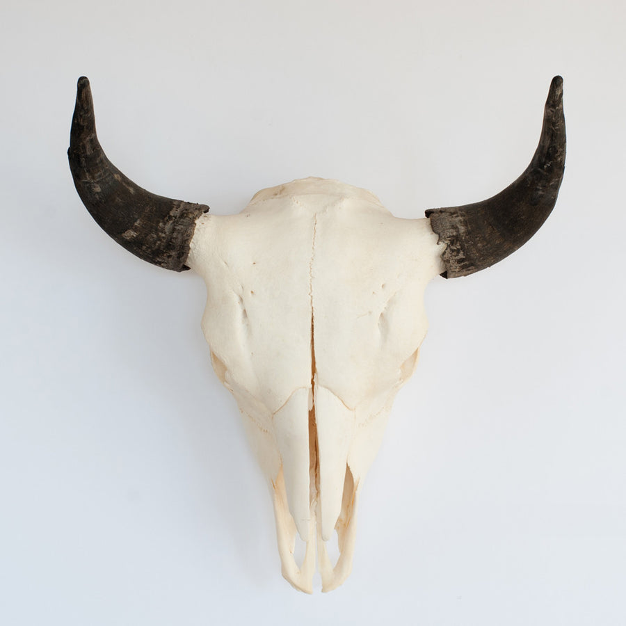 Bulletin on the Plains - Bison Skull