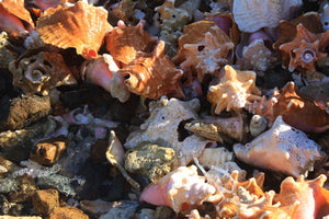 Conch Shells on Britannia Bay Mustique