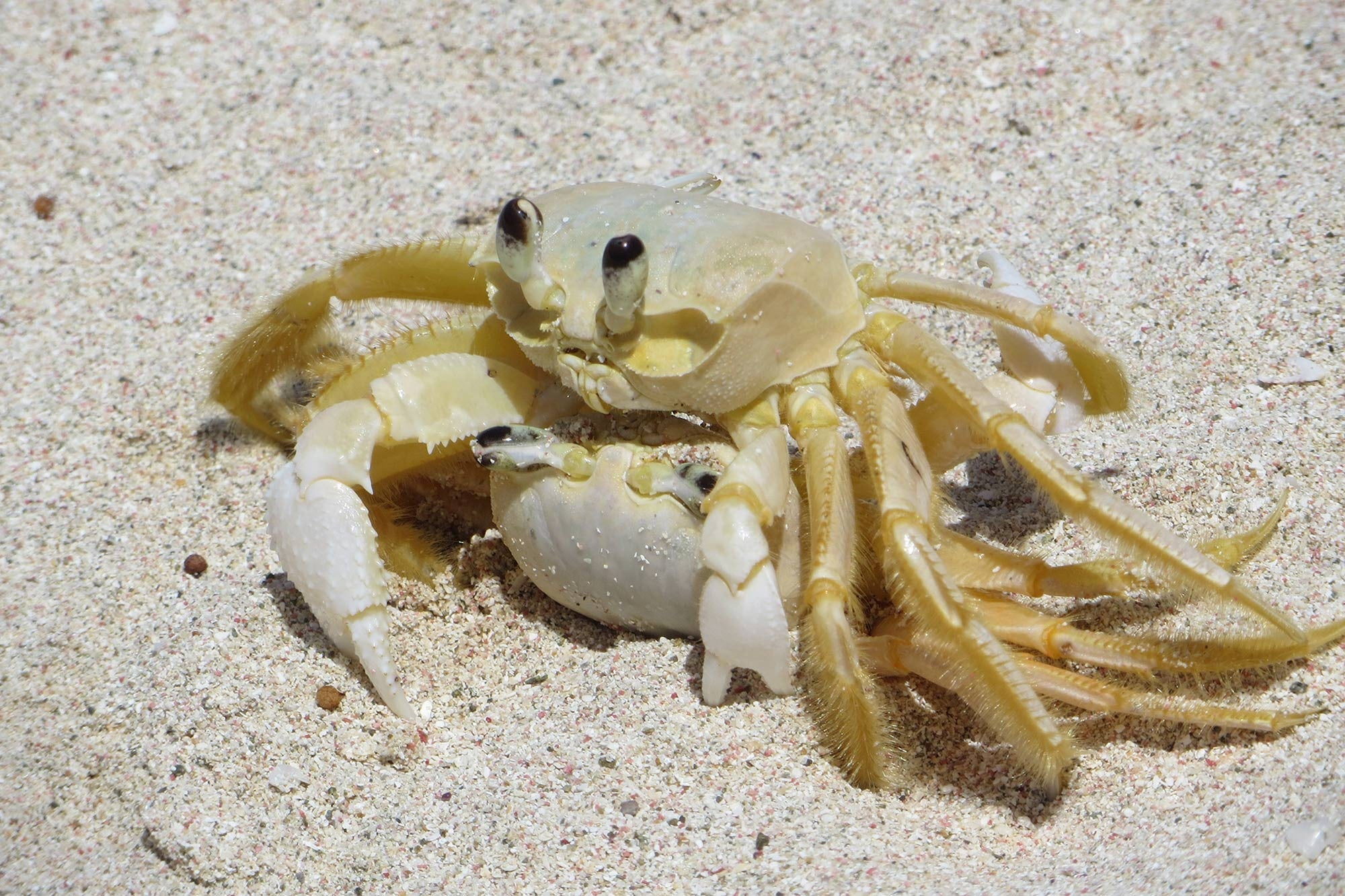 Crabs mating Pasture Bay Mustique