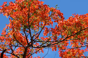 Flamboyant red bloom against blue sky in Mustique