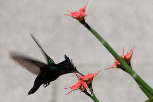 Humming Bird Collecting Nectar