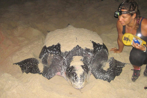 turtle laying eggs. photo by The Turtle Project Mustique.