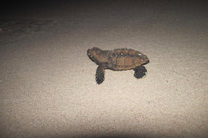 baby turtle hatches. photo from the Turtle Project Mustique.