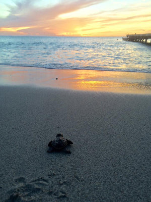 baby turtle heads to the sea. photo from the Turtle Project Mustique.