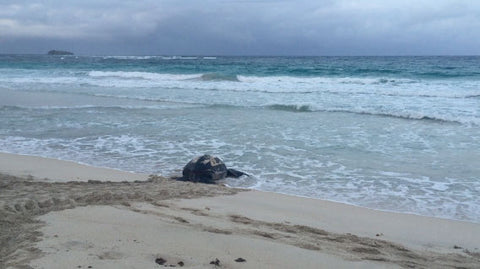 Turtle heads back to the sea after laying her eggs on pasture Bay Mustique