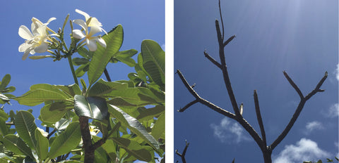 frangipani tree at the Pink House on Mustique before and after the caterpillars.