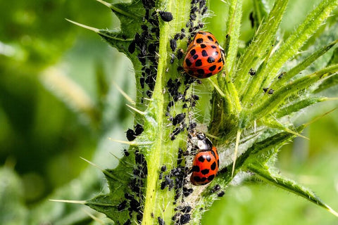 Ladybugs feasting on aphids and protecting our plants