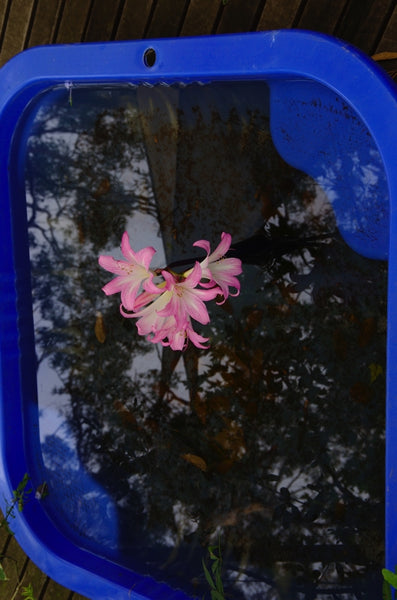 Pinkabella in a pool