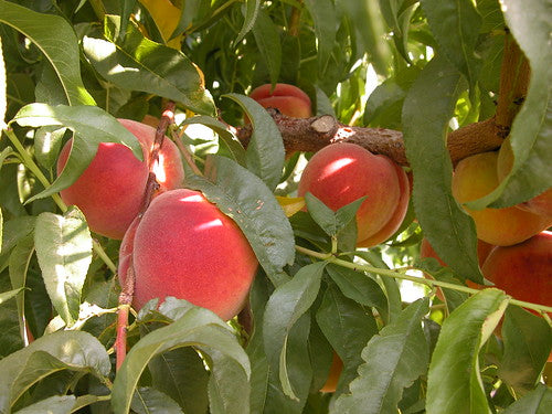 Early Elberta Peaches (20 lb box)