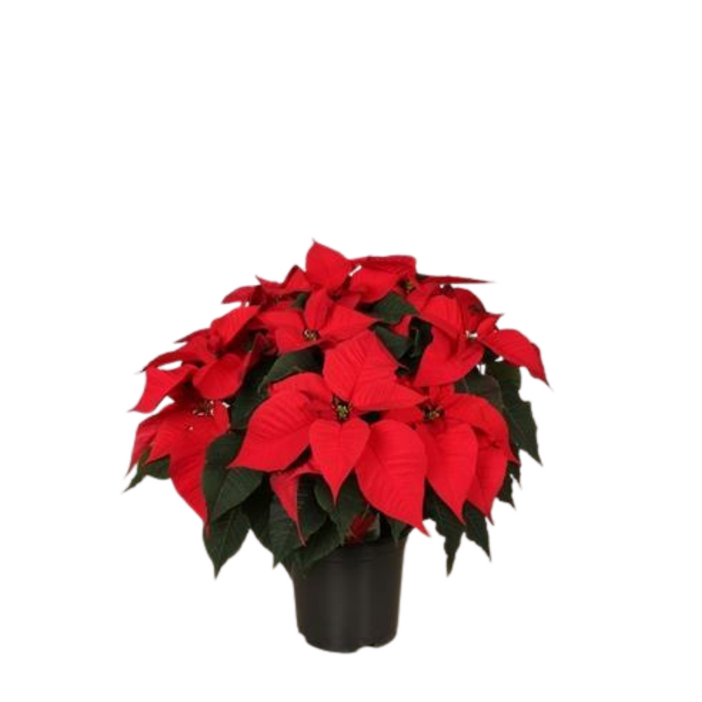 Poinsettia Plant Christmas Red