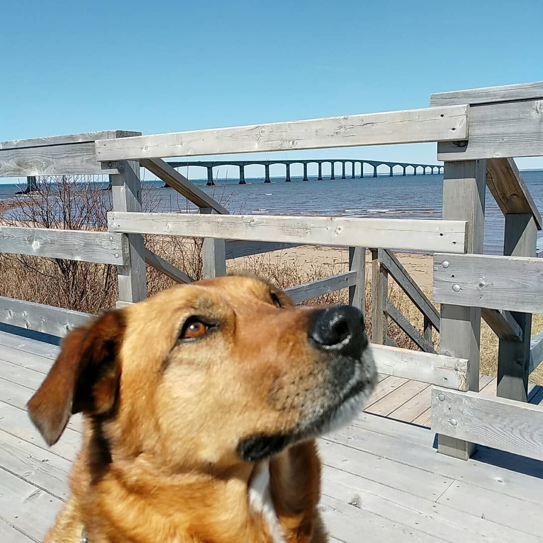 Kurt, the dog, with the PEI bridge in the background