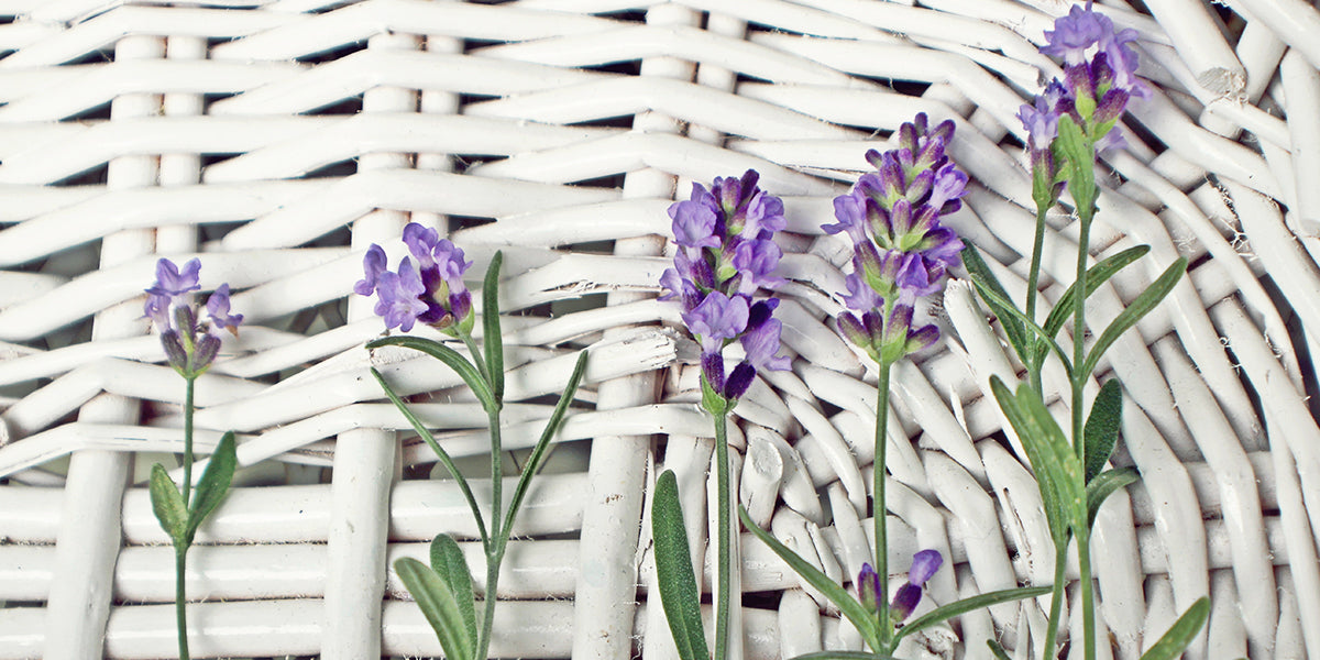Different Types of Lavenders