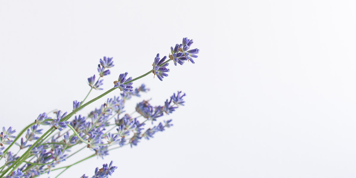 Lavender Flower in A Glass