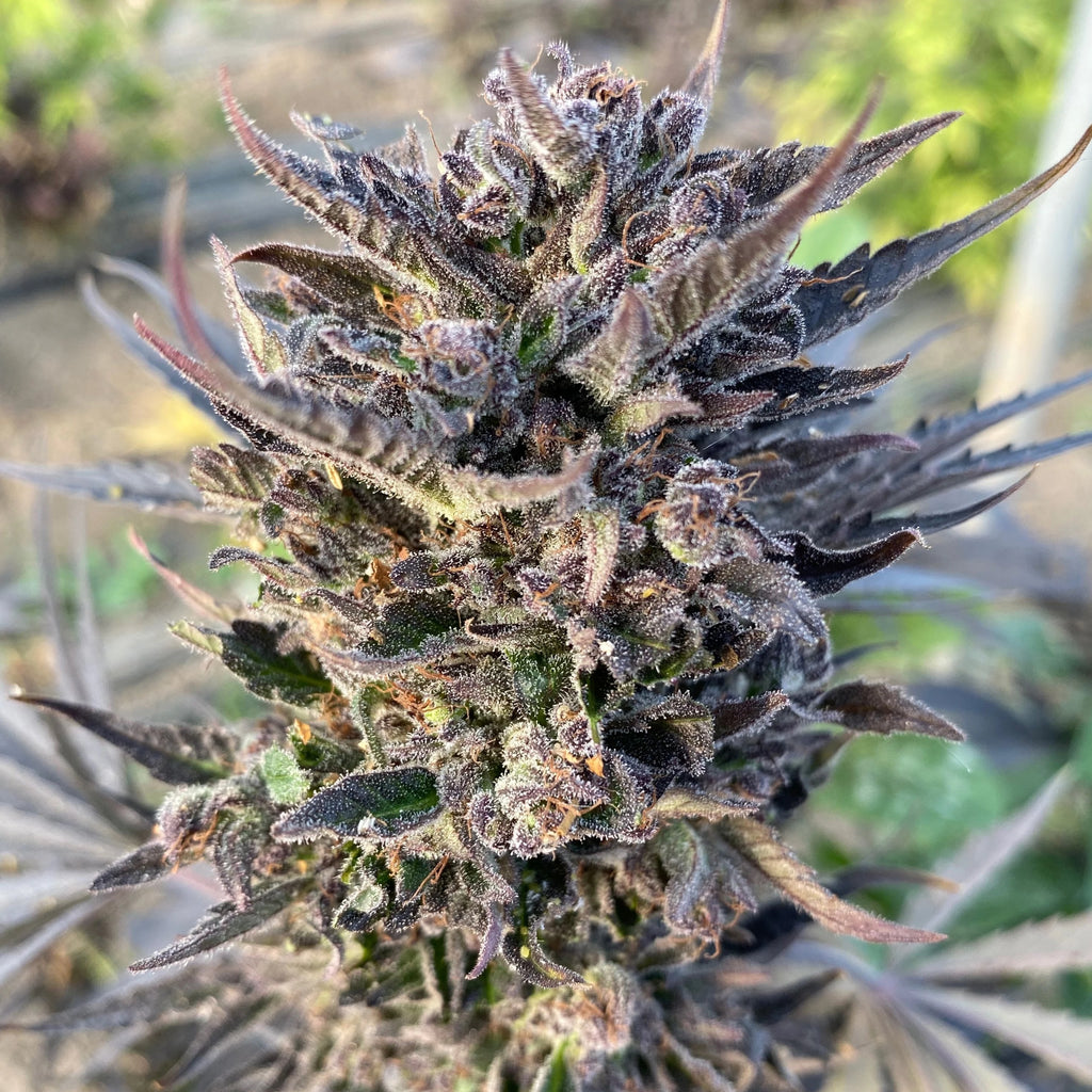 Feminized Grape Soda Seeds