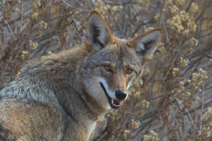 COYOTE HUNTING — BEST WAY TO IMPROVE YOUR DEER HUNTING THIS SUMMER