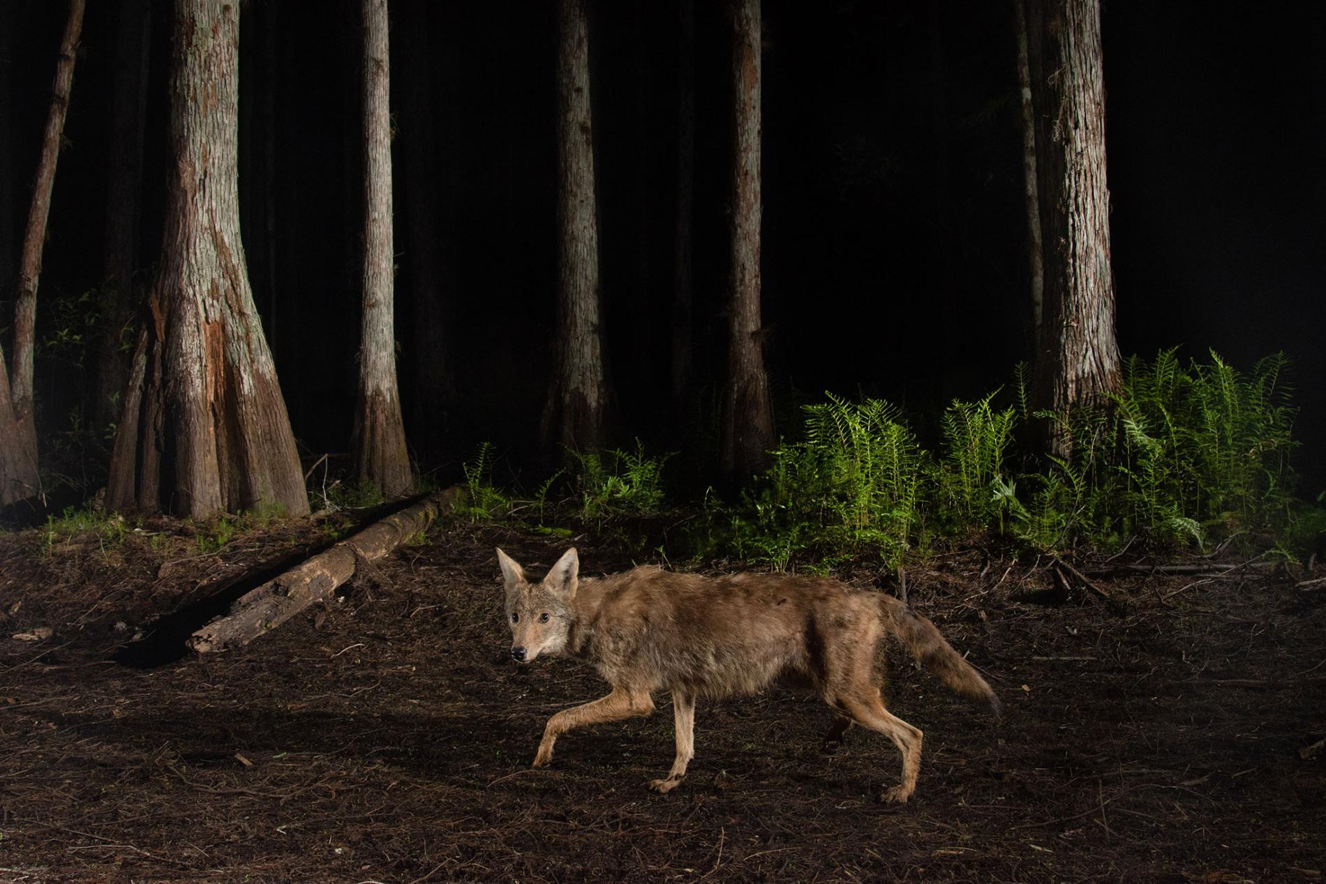 4 Critical Coyote-Hunting Tips