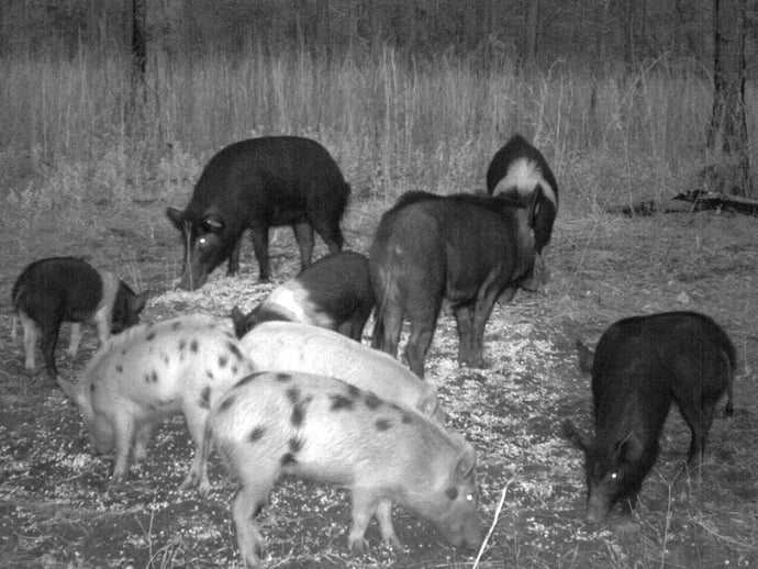Three Important Tips For Hog Hunting At Night