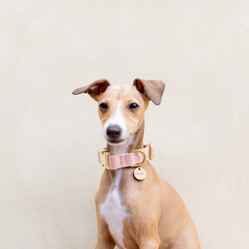 Italian greyhound wearing pink linen collar with gold hardware