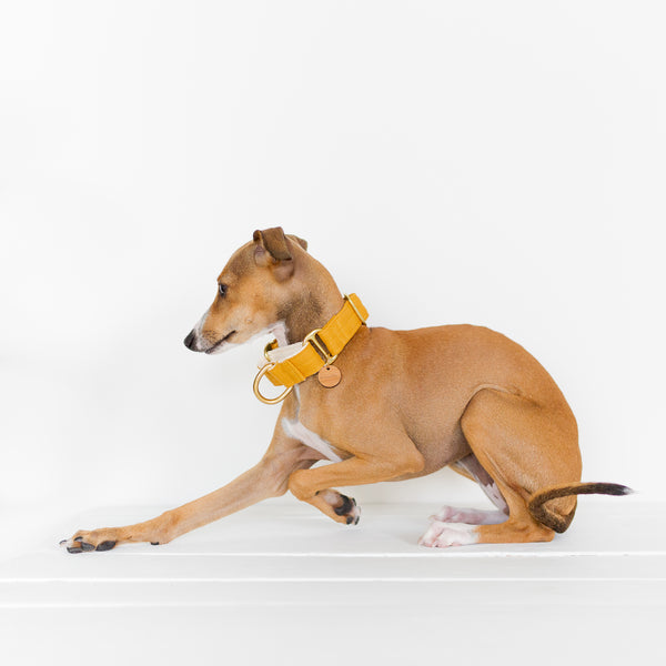 red italian greyhound puppy wearing a mustard yellow linen martingale dog collar