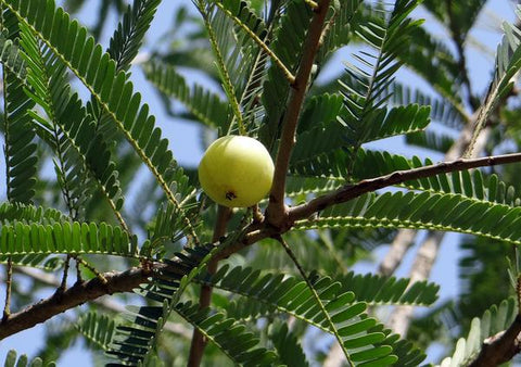 what is amla oil