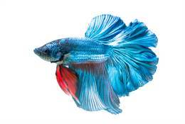 Betta Halfmoon Assorted Fighting Fish Male