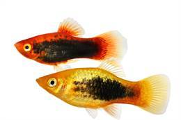 Platy Assorted Tropical Fish 3cm+