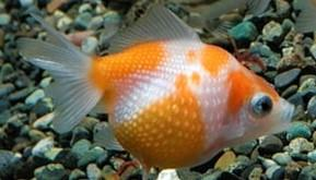 Goldfish Pearl Scale 5cm