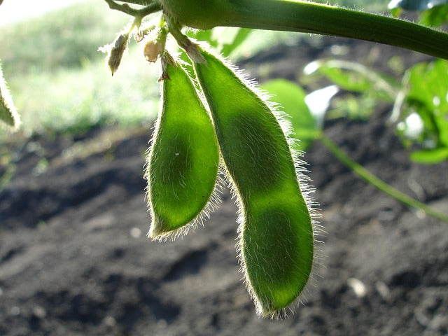 high yield crops soybeans