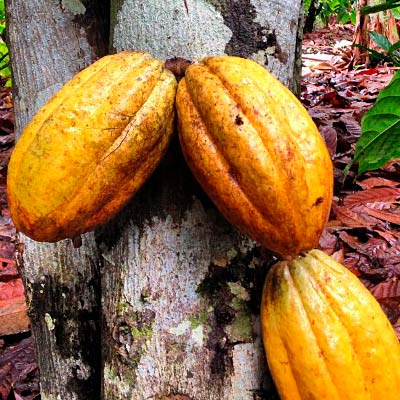 How chocolate is made | From Cacao Beans to Chocolate