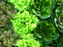 Load image into Gallery viewer, Organic Lettuce Head-2 Heads Farmer's Choice of Variety Best Deal!