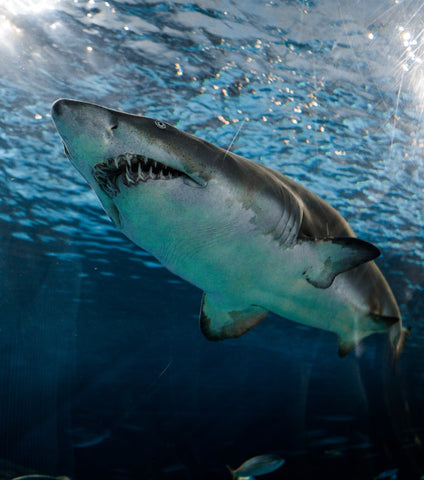 attaque requin squal iles hawaii nager plage