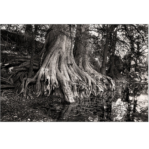 Cypress Tree by Tracy Anne Hart | TAH10001