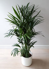 Load image into Gallery viewer, Kentia Palm Plant