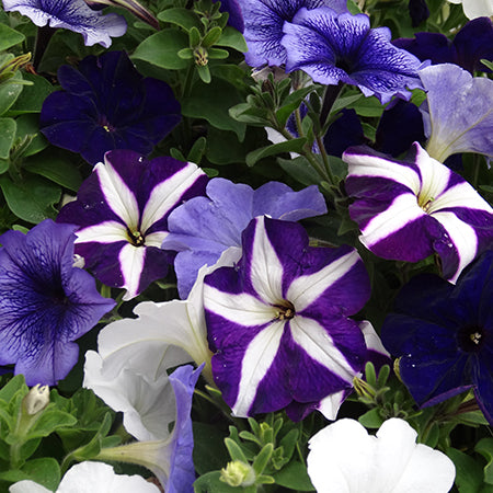 Petunia Blue Fountains 20 Plant Pack Dispatch From 10/05/21